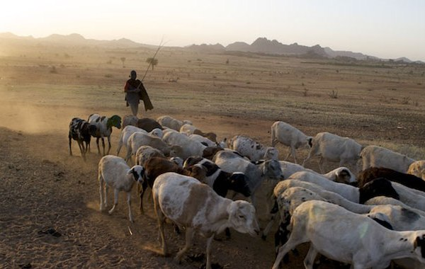 A pastoralist guiding a herd of sheep in a dusty landscape, with the sun setting behind hills in the background