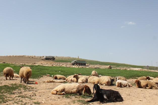 Pic 5 Pastoral settlement,airport road, Amman.jpg