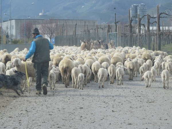 Immigrant shepherd in Triveneto (PASTRES).jpg