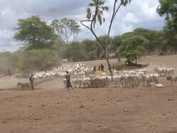 Mixed livestock in Isiolo (PASTRES).jpg