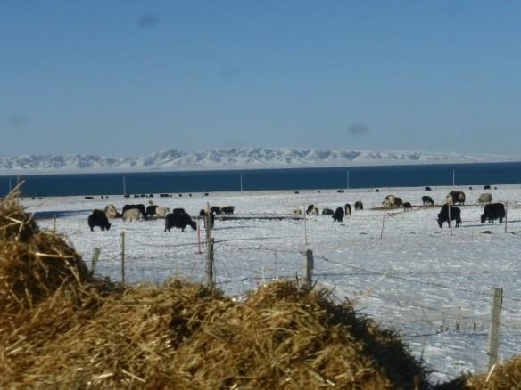 Yak grazing in Qinghai (PASTRES).jpg
