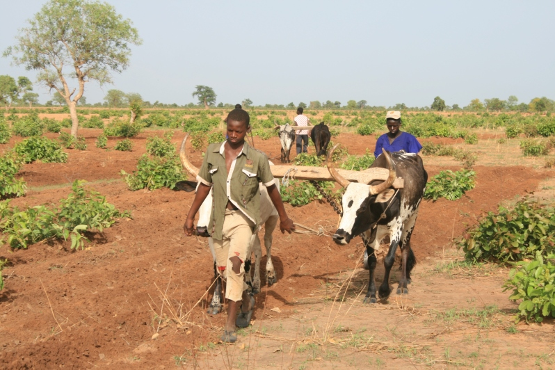 oxen-drawn-ploughs-a-critical-part-of-farming-systems
